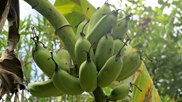 Lifestyle Enthusiast - Bueng Pai Farm - Freshly Grown Banana's