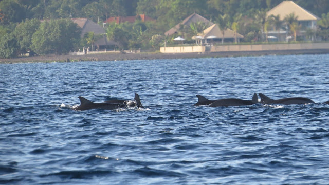 Lifestyle Enthusiast - The Damai, Lovina, Bali - Dolphin spotting